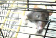 Rat Shot