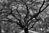 Lined up trees